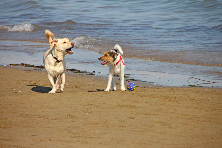 cani-alla-spiaggia-di-duke